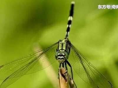 十大最毒蜻蜓排行榜 鬼蜻蜓也被稱為魔鬼補衣針