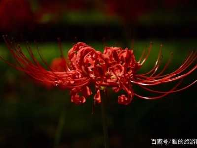 彼岸花真的開在冥界嗎 花葉兩不見——彼岸花